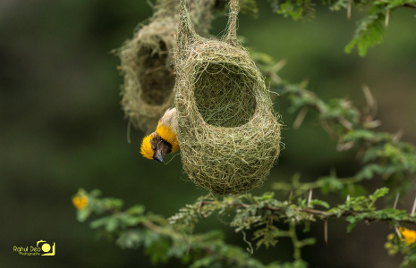 Rahul Deo Photography - Baya Weaver in outskirts of Pune
