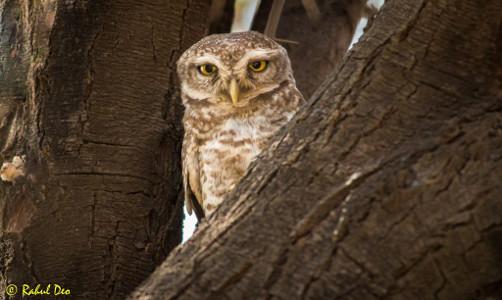 Rahul Deo Photography - Bhigwan Bird Sanctuary