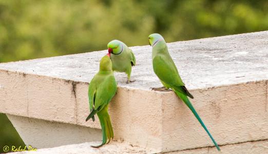 Rahul Deo Photography - Birds