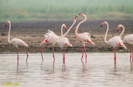 Rahul Deo Photography - Flamingos in Bhigwan Bird Sanctuary