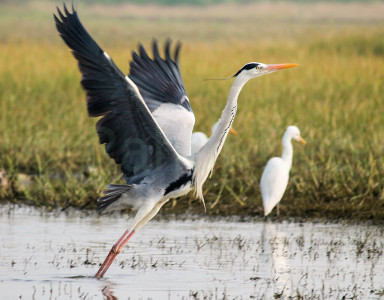 Rahul Deo Photography - Grey Heron in Bhigwan Bird Sanctuary