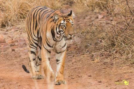Rahul Deo Photography - Tadoba Tiger Reserve