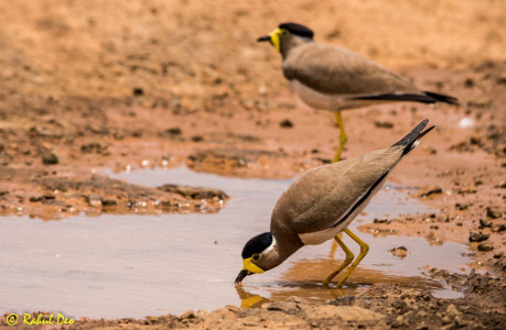 Rahul Deo Photography - Yellow Wattled Lapwing in Mayureshwar Wild Life Sanctuary