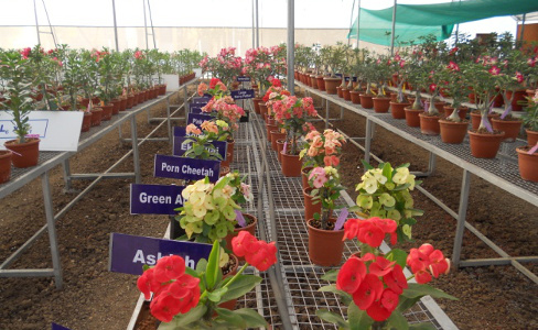 Dr Alka Singh Research - Pot plants in soilless growing system for urban horticulture