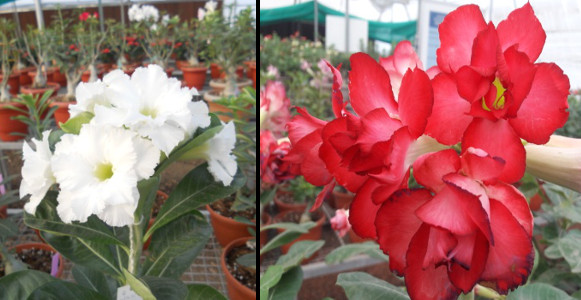 Dr Alka Singh Research - Promising Hybrids developed in Adeniums - a popular ornamental plant 2